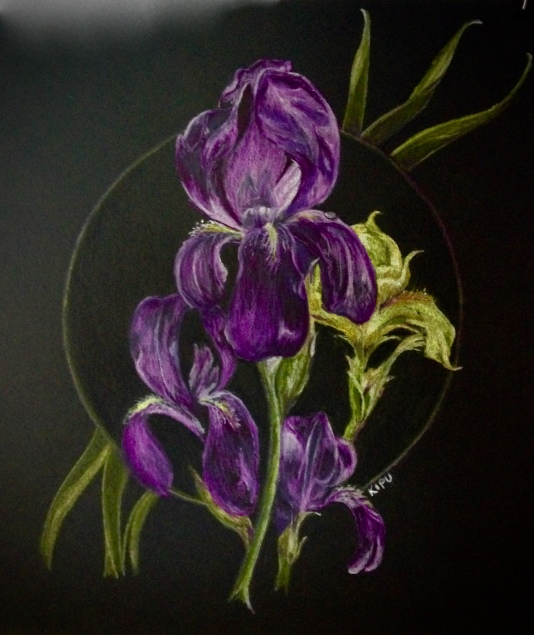 """Moffat-Ladd Iris"" color pencil on black paper. Copyright 2018 Kate Zamarchi. All rights reserved."