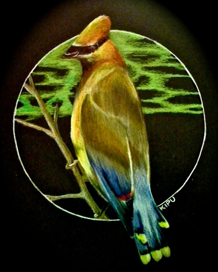 """Waxwing"" color pencil on black paper. Copyright 2018 Kate Zamarchi. All rights reserved."