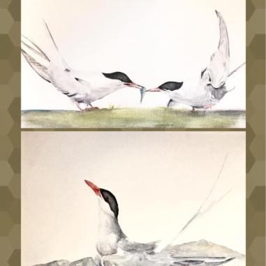 Arctic Terns